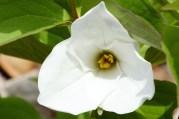 Ontario's official flower, the Trillium