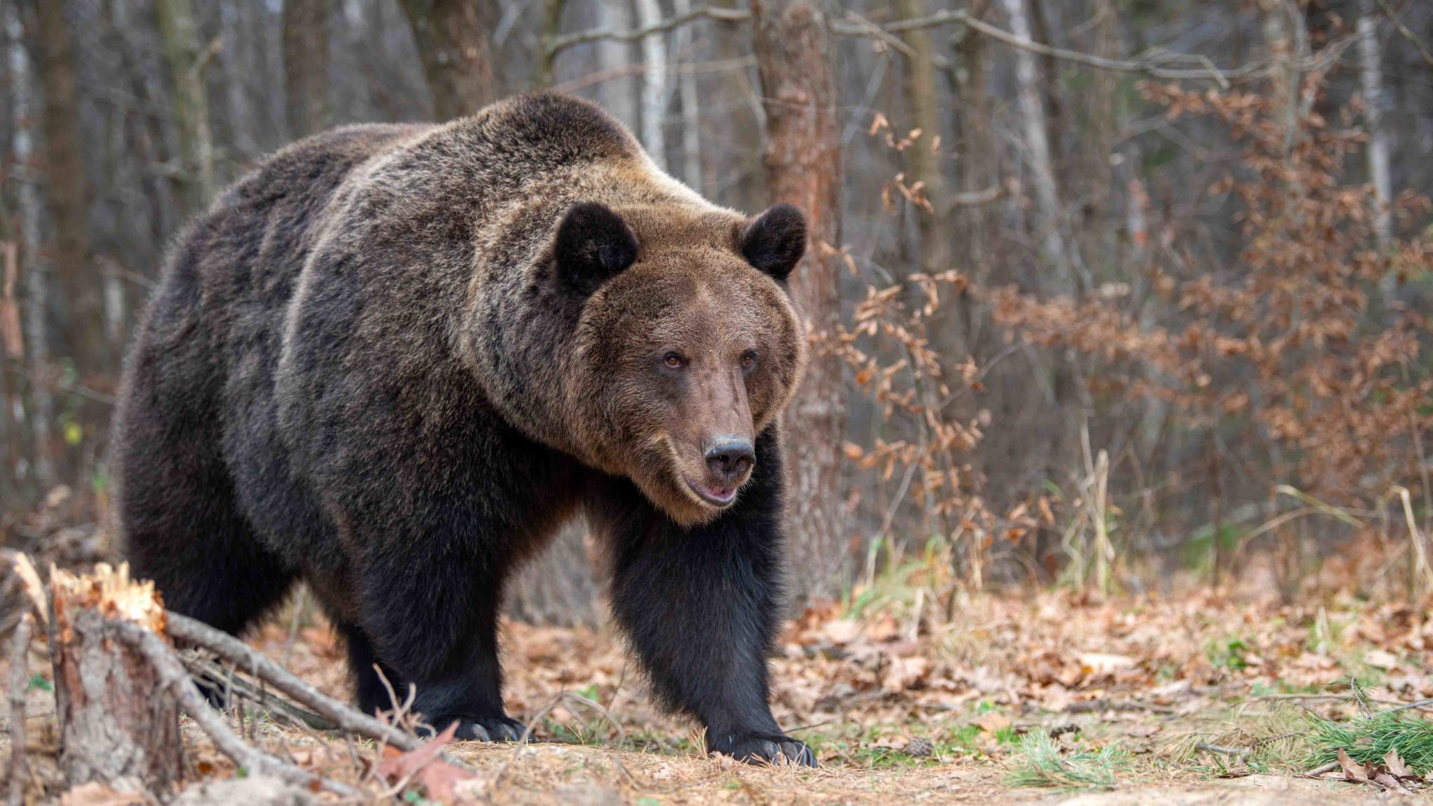 26 Grizzlies Captured, 18 Euthanized in Wyoming Last Year