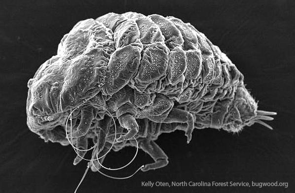 hemlock wooly adelgid-bug macro microscope