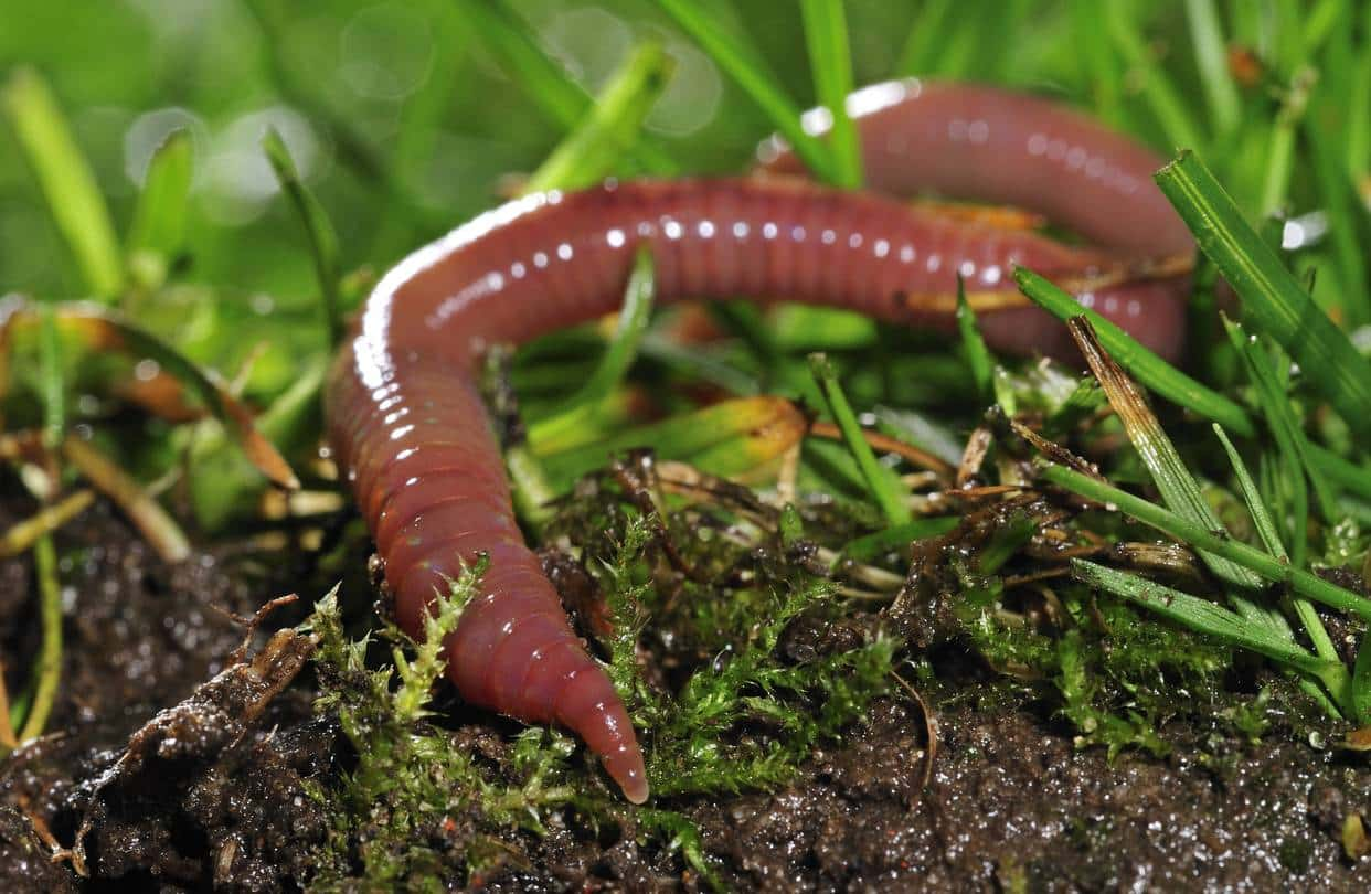 Worms and their place in our soils delicate ecosystem
