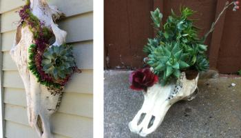 steer skulls with succulents