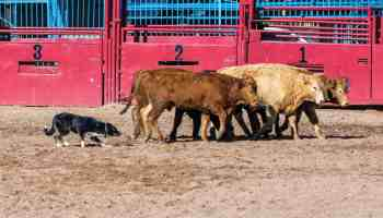 Working Cow Dog - COWGIRL Magazine - November