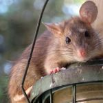 Walka ze szczurami – będzie dodatkowa deratyzacja