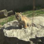Odwiedzający krakowskie ZOO mogą już zobaczyć małego tygryska