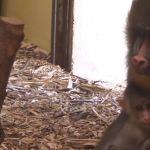 """""""Mam trzy tygodnie i nie opuszczam mamy na krok"""" Zobaczcie uroczą małpkę"""