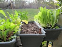 Lettuce, radishes, and ... lettuce.