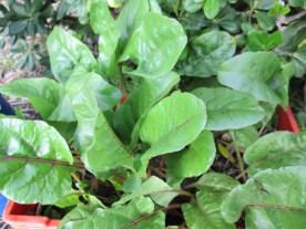 Beet greens. Yum!