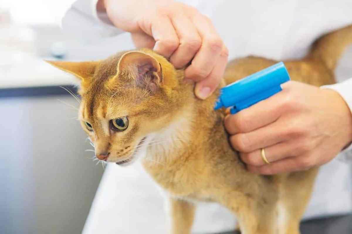 Mikroczip - czipowanie kota