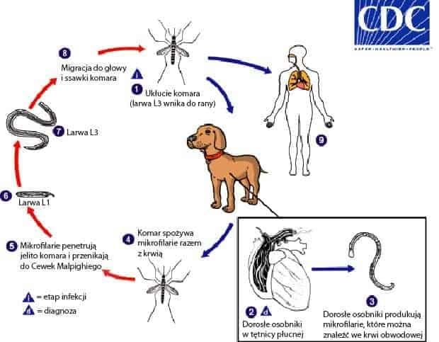 Dirofilaria immitis zakażenie i cykl życiowy