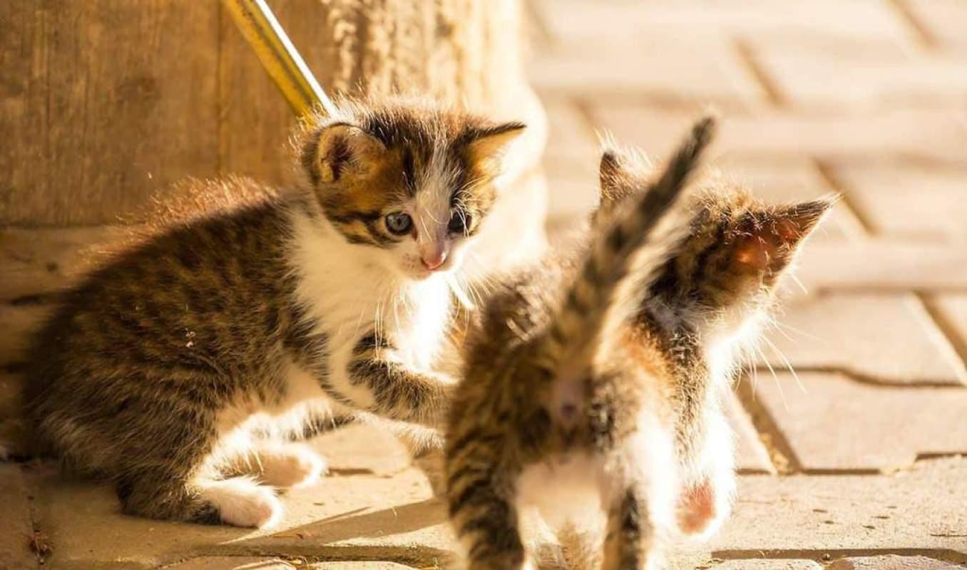 Jak kot może zarazić się tyfusem?