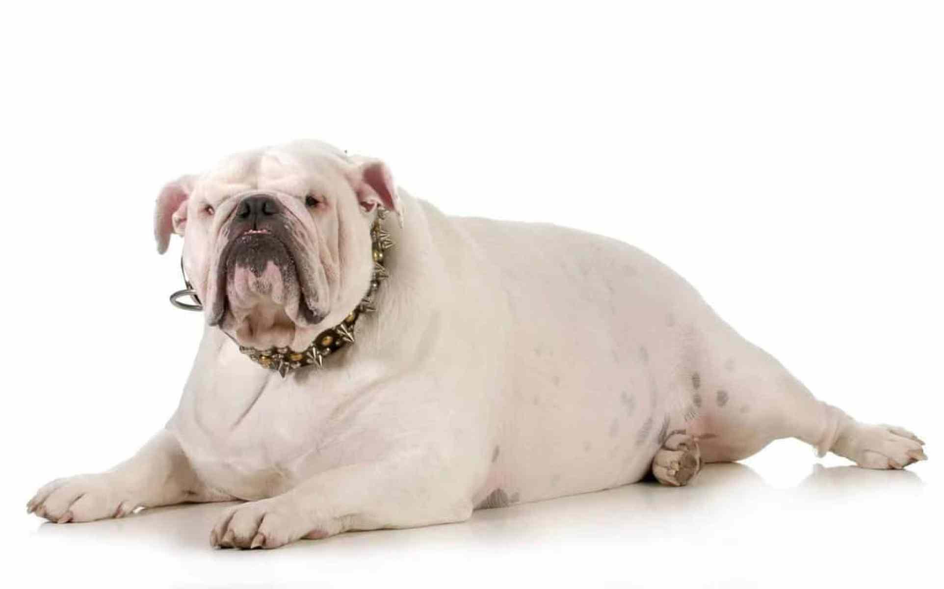 Jak odchudzić grubego psa?