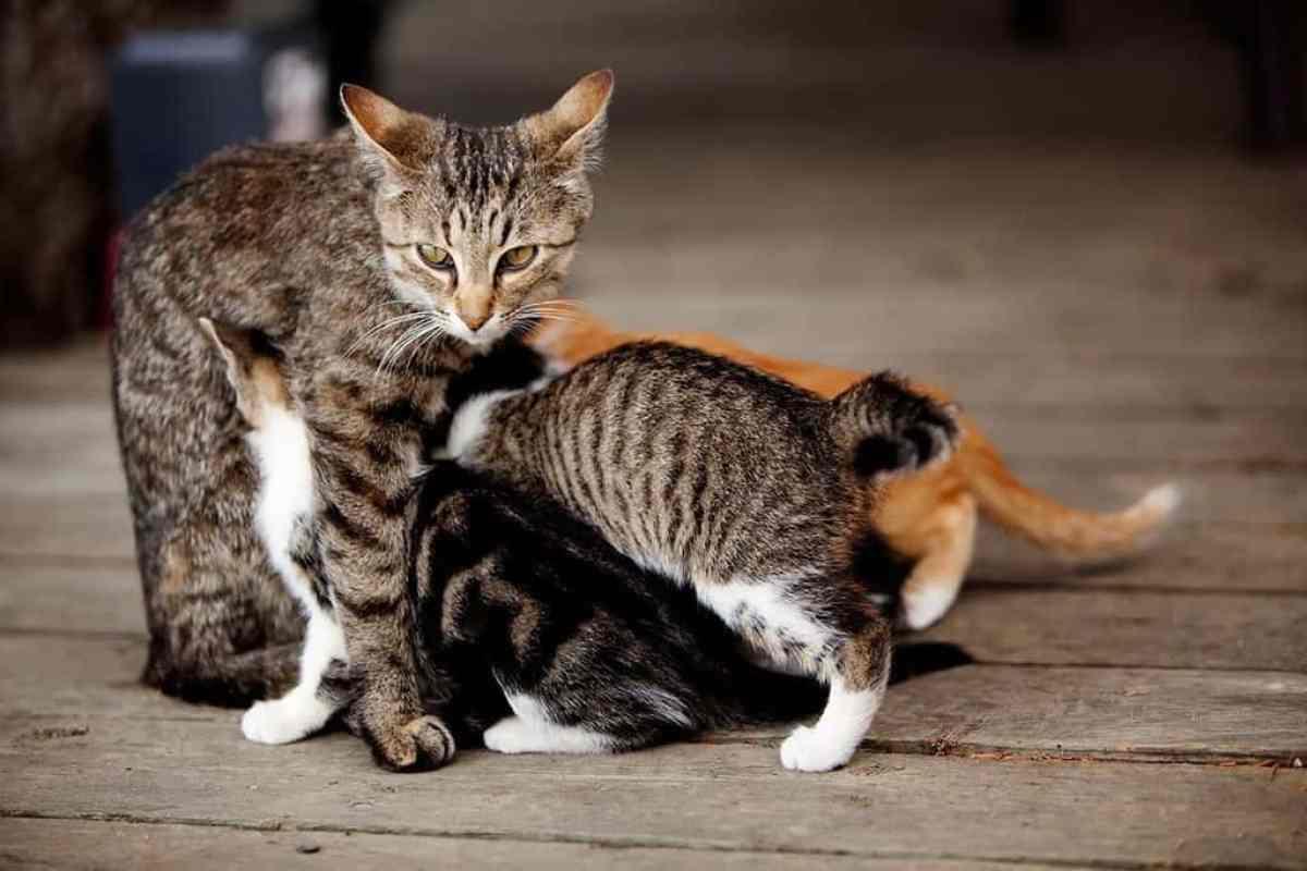 Jak kot może zarazić się świerzbem?