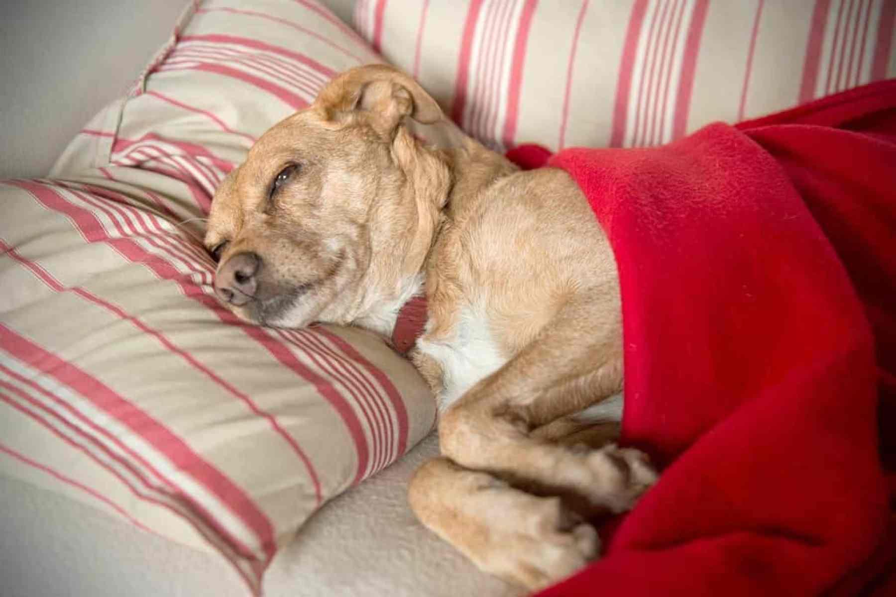 Chora wątroba u psa i kota: pasożyty