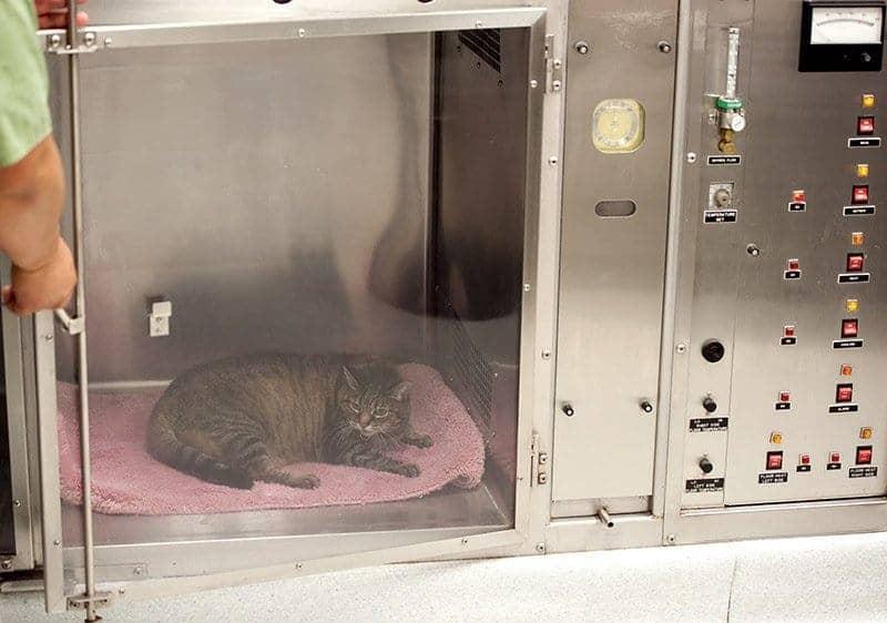 Kot podczas tlenoterapii w klatce tlenowej