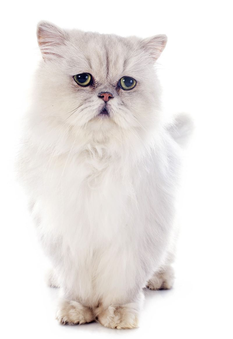 Jak wygląda kot perski?