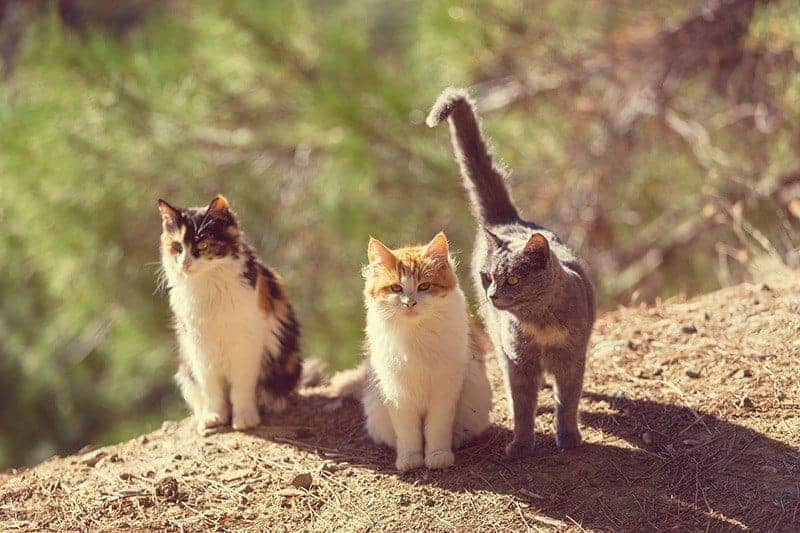 Dlaczego niektóre koty łatwiej oswoić od innych?