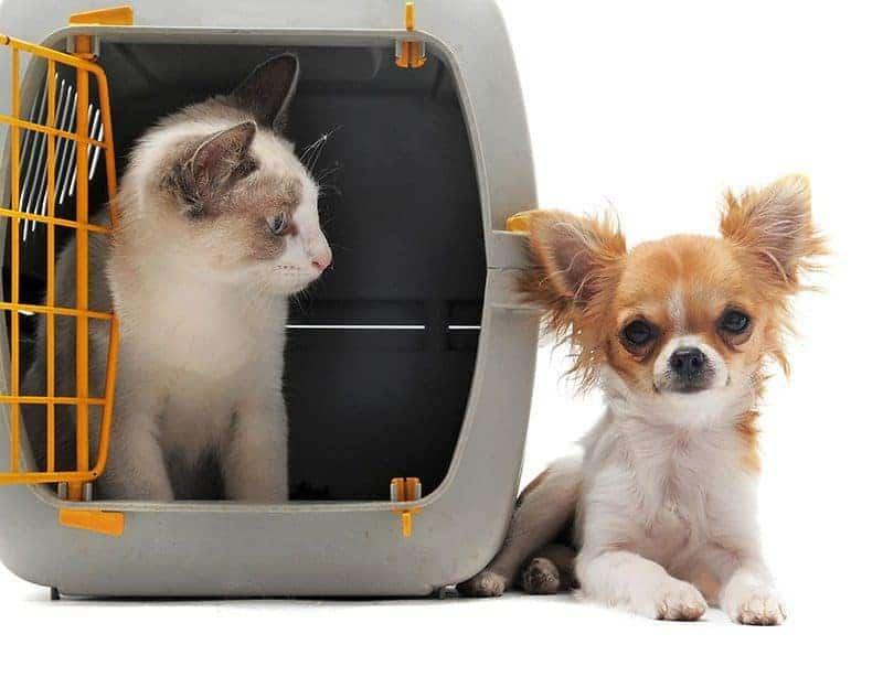 Czy warto zdecydować się na Chihuahua