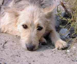 Zespół przedsionkowy u psa: objawy i leczenie choroby