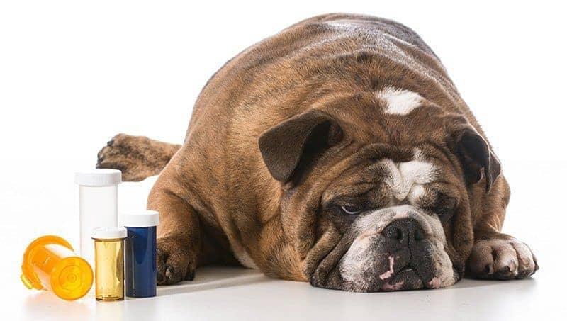 Leczenie wymiotów u psa