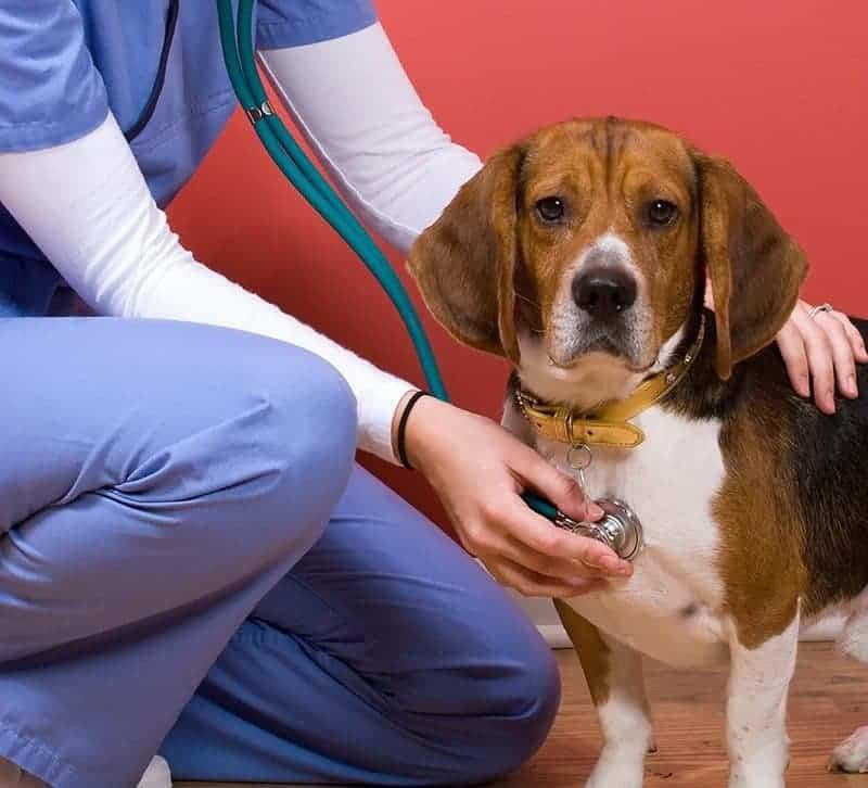 Beagle: predyspozycje do chorób