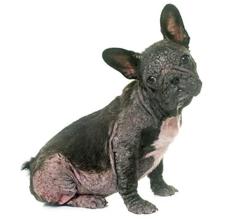 Nużyca u psa