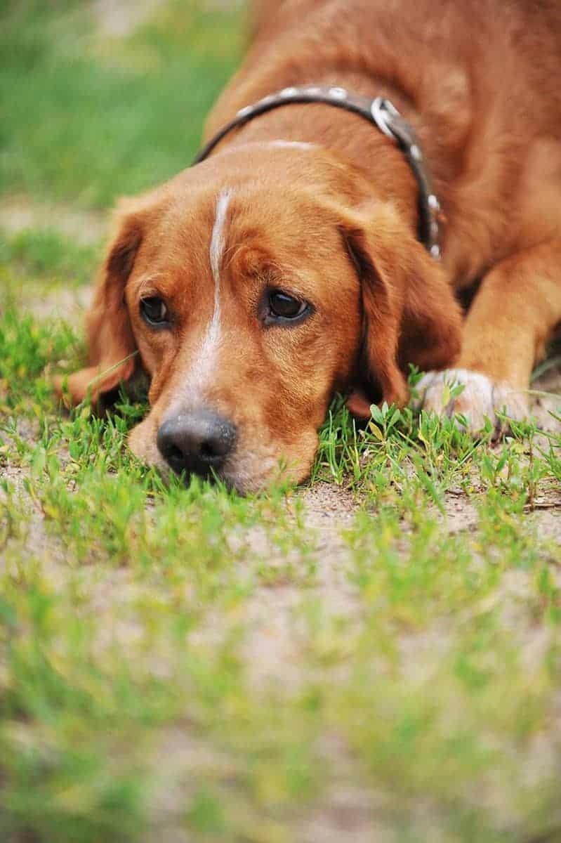 Zapalenie i niewydolność wątroby u psa