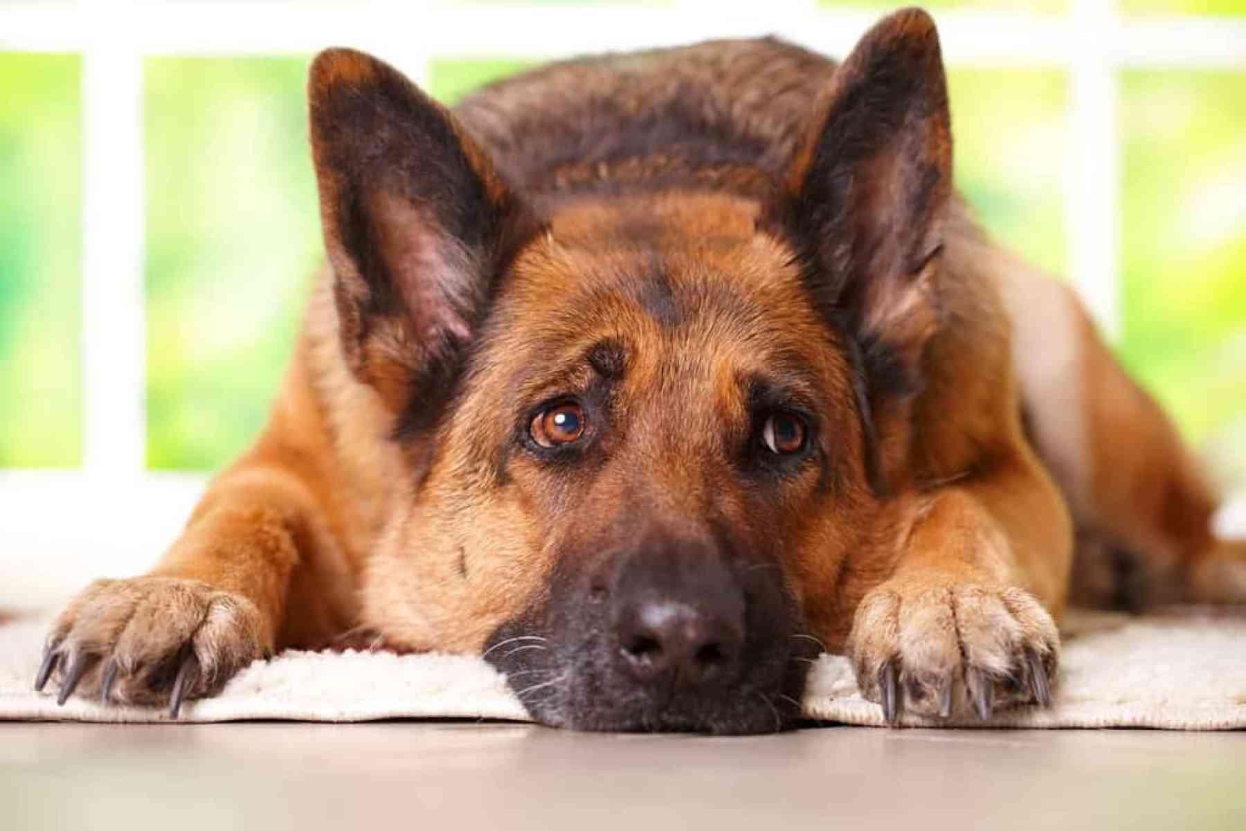 Niewydolność trzustki u psów