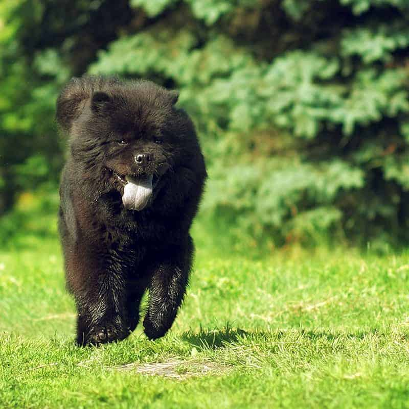Chow chow charakter