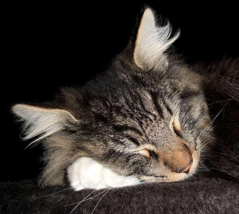 Kot norweski leśny choroby
