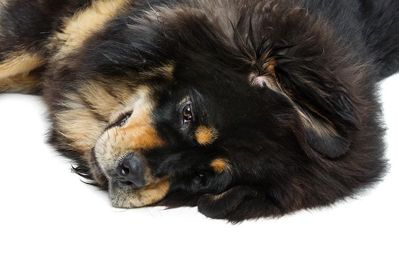 Mastif tybetański choroby