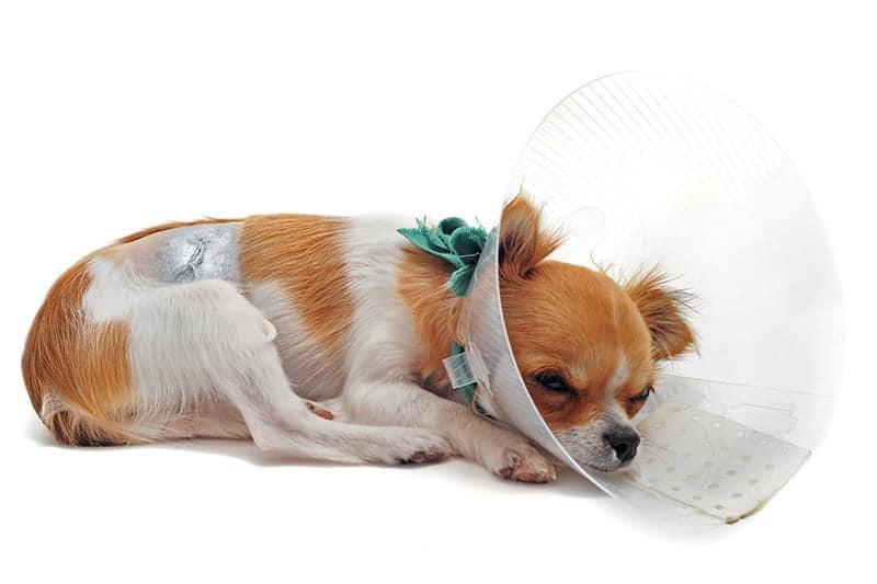 Przepuklina u psa opieka po zabiegu