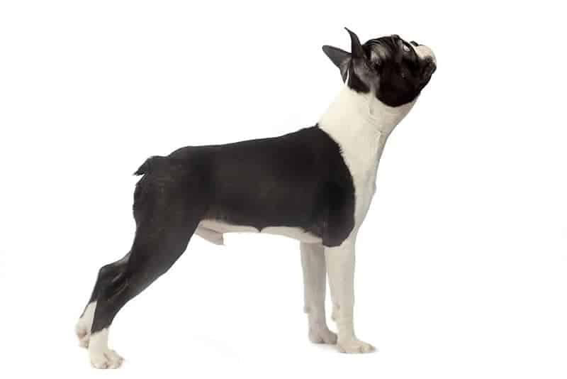 Boston terrier opis rasy