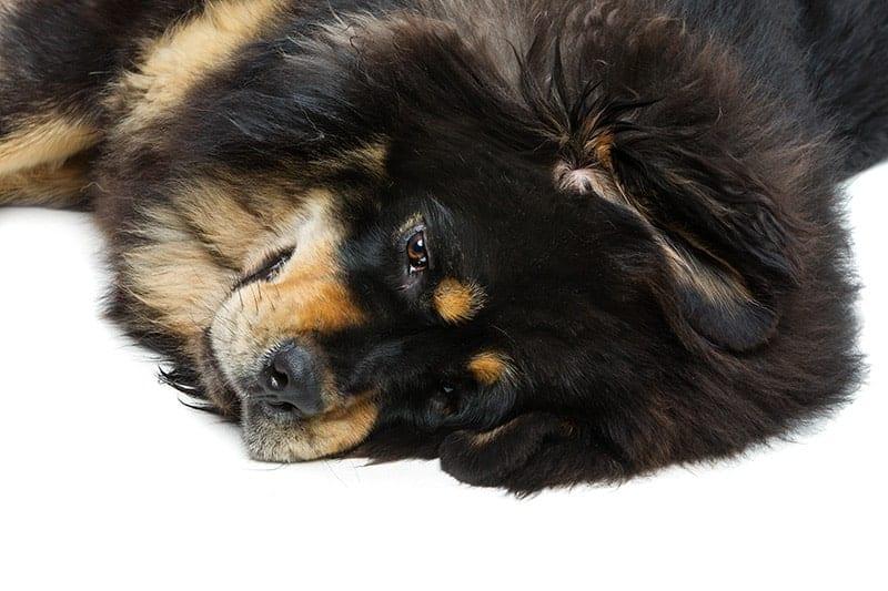 Nie lekceważ objawów zapalenia płuc u swojego psa!