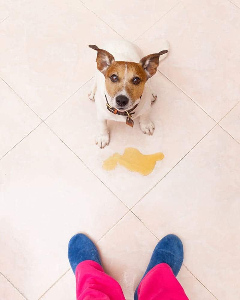 Nietrzymanie moczu u psa przyczyny