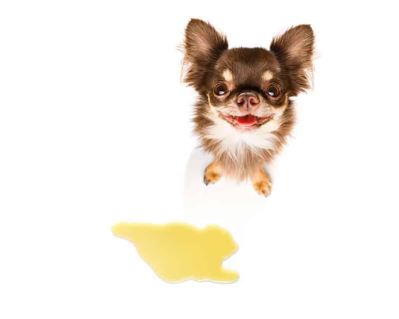 Popuszczanie moczu u psa