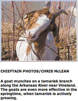 Goat munching tamarisk via The Pueblo Chieftain