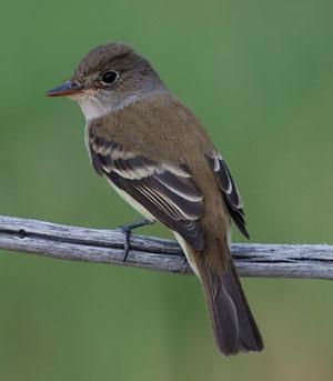 Southwestern Willow flycatcher