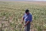 droughtcornfieldnorthdakotastate