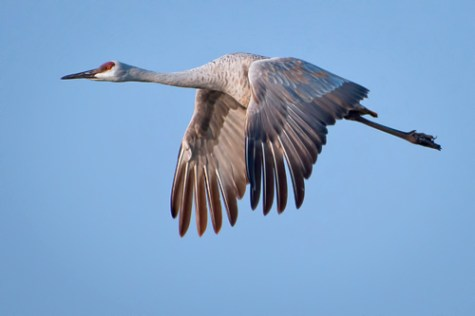 Sandhill Crane in flight via DanonArtFrames.com