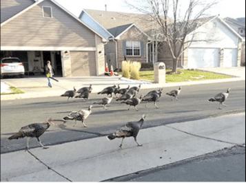 Wild turkeys on parade in Eastlake Colorado November 25, 2015