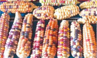 Selection of the 2015 native heirloom maize harvest of the seed library of The Acequia Institute in Viejo San Acacio, CO Photo by Devon G. Peña