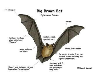 Big Brown Bat diagram via Shari Ansel and ExlploringNature.org