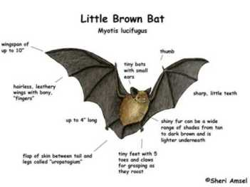 Little Brown Bat diagram via Shari Ansel and ExlploringNature.org