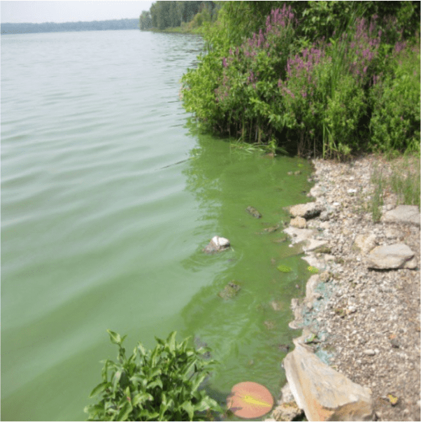 Microcystis bloom in Lake Neatahwanta, NY, August, 2010. Courtesy of James Hyde, NYS DOH.