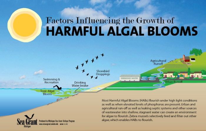 HarmfulAlgalBloomillustrationseagrantmichigan