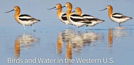 American Avocets in the Salton Sea. Photo: David Tipling/NPL/Minden Pictures. Screen shot American Audobon Society western water website, October 4, 2017.
