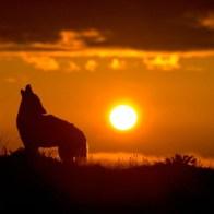 cropped-cropped-coyotehowlingsunrisemichaelfrancisphoto