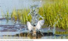 Least Tern. Photo credit Doug German via Audubon.