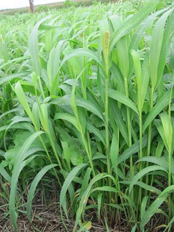 Cover crops. Photo credit: NRCS