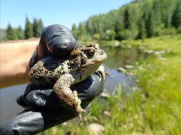 Mature Boreal toad. Photo credit: Colorado Parks & Wildlife.